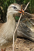 Red-legged Seriema (Cariama cristata) offering twigs for the nest