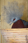 Southern Crowned-Pigeon (Goura scheepmakeri) in an artificial nest
