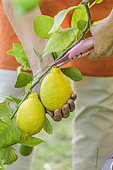 Harvest of lemons of the variety 'Lunario', at maturity
