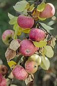 Apple 'Belle Fille de Salins', very resistant to the cold. Variety of small caliber, resistant to scab but alternating.