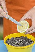 Semis de pépins de citron en pot : plus la graine est fraîche et meilleure est la levée.