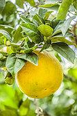 'Moro' blood orange fruit