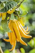 Fruit of Fingered citron 'Hand of Buddha' (Citrus medica var sarcodactylis).