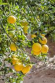 Citrange 'Carrizo' fruits