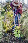 Woman planting evergreen plants in winter: fatsia, phormium ...