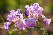Iris 'Enchanted World'