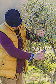 Man pruning an olive tree stem of the variety 'Arbequina'