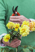 Cutting the dahlia step by step. Step 1 : Pick cuttings stems of the desired variety.