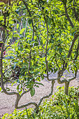 Apple tree pruning with double U