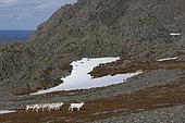 Eurasian Reindeers ( Rangifer tarandus tarandus ) Varangerfjord, Norway