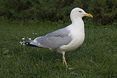 Baltic Herring Gull (Larus argentatus omissus) on grass, Estonia