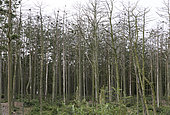 Trees killed by a colony of Great Cormorants in the Coastal forest, Curonian Spit National Park, Lithuania