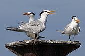 Royal terns (Sterna maxima), Los Haitises NP, Dominican Republic