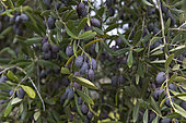 Black olives on tree in January (not picked up), Andalusia, Spain