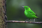Glistening-green Tanager (Chlorochrysa phoenicotis) on a branch, Amagusa Reserve, Mashpi reserve complex, Andes, Equateur