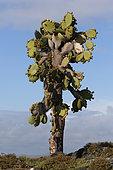 Cactus géant des Galapagos (Opuntia echios echios), Île Plaza Sud, Îles Galápagos