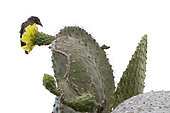 Galapagos Prickly pear (Opuntia echios) with Cactus Finch, Santa Fe Island, Galapagos Islands