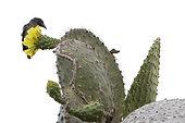Cactus géant de Santa Fé (Opuntia echios barringtonensis) avec Pinson de Darwin, Île Santa Fé, Îles Galápagos