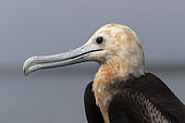 Magnificent Frigatebird (Fregata magnificens) immature, San Cristóbal Island, Galápagos Islands