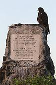Galapagos Hawk (Buteo galapagoensis) on rock, Española Island, Galápagos Islands