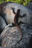 Marine Iguana (Amblyrhynchus cristatus venustissimus) on rock, Española Island, Galápagos Islands