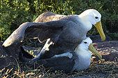 Waved Albatross (Phoebastria irrorata) mating, Española Island, Galápagos Islands