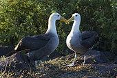 Waved Albatross (Phoebastria irrorata) displaying, Española Island, Galápagos Islands