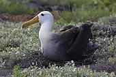 Waved Albatross (Phoebastria irrorata) at nest, Española Island, Galápagos Islands