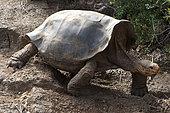 Charles Island Tortoise (Geochelone nigra), Charles Darwin Foundation, Santa Cruz Island, Galápagos Islands