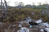Blue-footed Booby (Sula nebouxii) on ground, North Seymour Island, Galapagos Islands