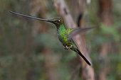 Sword-billed Hummingbird (Ensifera ensifera) in flight, Yanacocha Reserve 3500 m, Andes West, above Quito, Ecuador