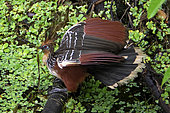 Hoatzin (Opisthocomus hoazin) on a branch, Napo Wildlife lodge, Yasuni Nationl Park, Amazon, Ecuador