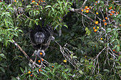 Saki moine (Pithecia monachus)mangeant des fruits, Napo Wildlife lodge, Parc Nationl Yasuni, Amazonie, Equateur
