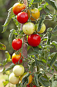 Organic tomatoes in an organic vegetable garden, Provence, France
