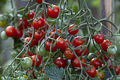 Organic cherry tomatoes in an organic vegetable garden, Provence, France