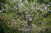 Bladder senna (Colutea arborescens) fruits, Provence, France