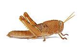Italian locust (Calliptamus italicus) immature on white background, Provence, France