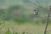 Woodchat Shrike (Lanius senator) male drying on a branch, Autignac, Herault, France