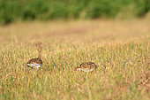Little bustard (Tetrax tetrax) feeding in a field, Laurens, Hérault, France