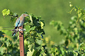 European Roller (Coracias garrulus) juvenile on a picket of vines, Magalas, Hérault, France