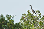 Gray Heron (Ardea cinerea) immature at the top of a tree, Laurens, Hérault, France