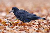 Rook (Corvus frugilegus), side view of an adult standing among autumn leaves, Warsaw, Poland