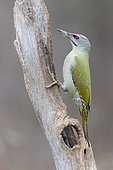 Grey-headed Woodpecker (Picus canus), side view of an adult male perched on an old trunk, Podlachia, Poland