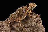 Mountain horned lizard (Phrynosoma orbiculare cortezii)