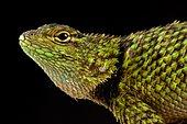 Mail-snouted Spiny Lizard (Sceloporus internasalis)