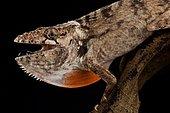 Gran piedro giant anole (Chamaeleolis sp.)
