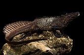 Amboina sail-finned lizard (Hydrosaurus amboinensis)