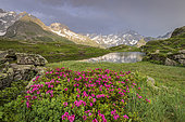 Lake Lauzon (2008m), and flowering Alpine Rose (Rhododendron ferrugineum), La Chapelle-en-Valgaudemar, Ecrins National Park, Hautes-Alpes, France