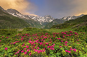 The Gioberney glacial cirque, flowering Alpine Rose (Rhododendron ferrugineum), La Chapelle-en-Valgaudemar, Ecrins National Park, Hautes-Alpes, France