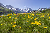 Salsify (Tragopogon pratensis) in bloom, the Sirac (3441m) and on the left the peak Jocelme (3458m), La Chapelle-en-Valgaudemar, Ecrins National Park, Hautes-Alpes, France